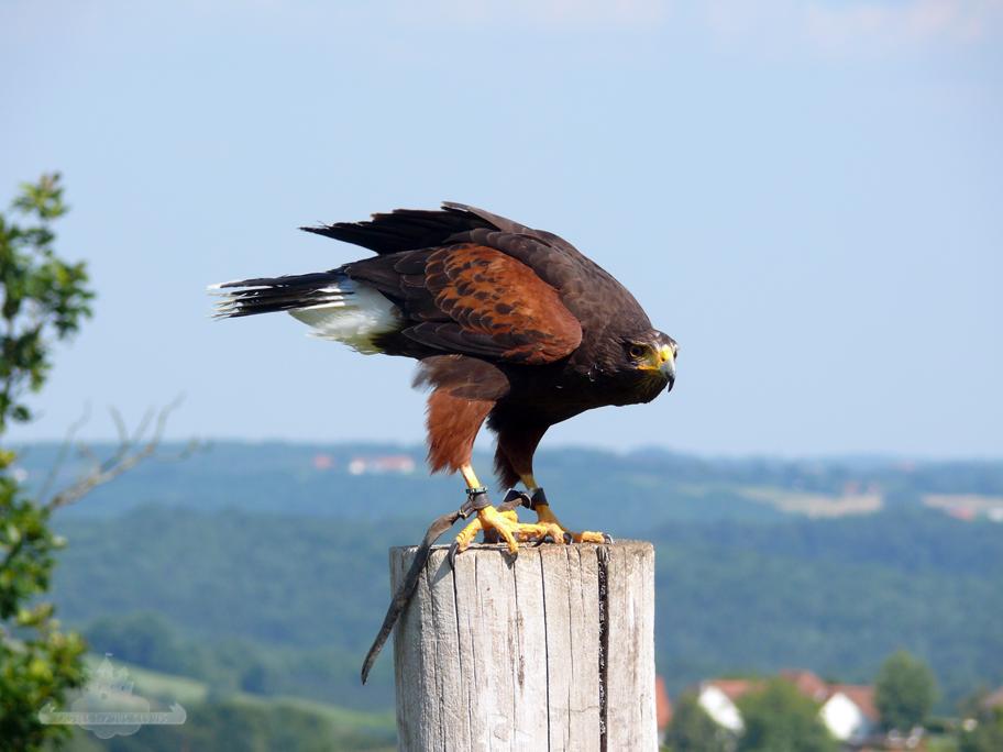 Greifvogel Riegersburg