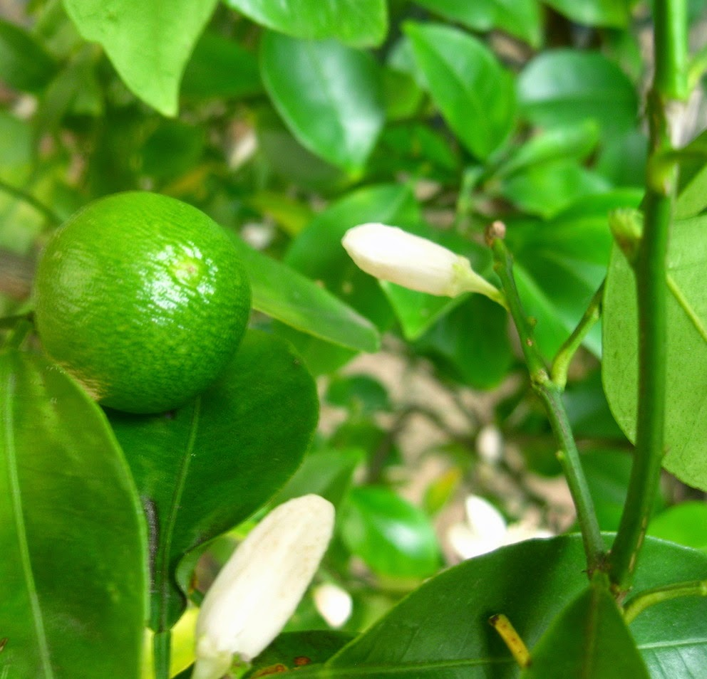 How to grow Calamondin and care for him at home
