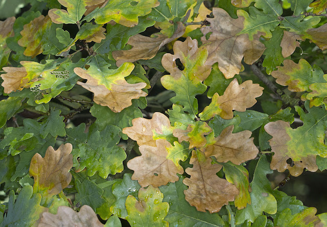 Oak leaves in August.  Hayes Common, 19 August 2011.