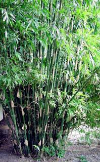Bambusa multiplex cv. Silerstripe Bamboo