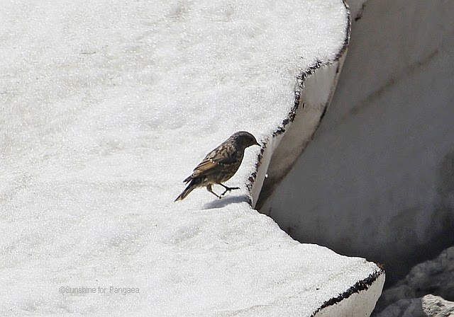 Alpine Accentor (Prunella collaris) in the death mountain range