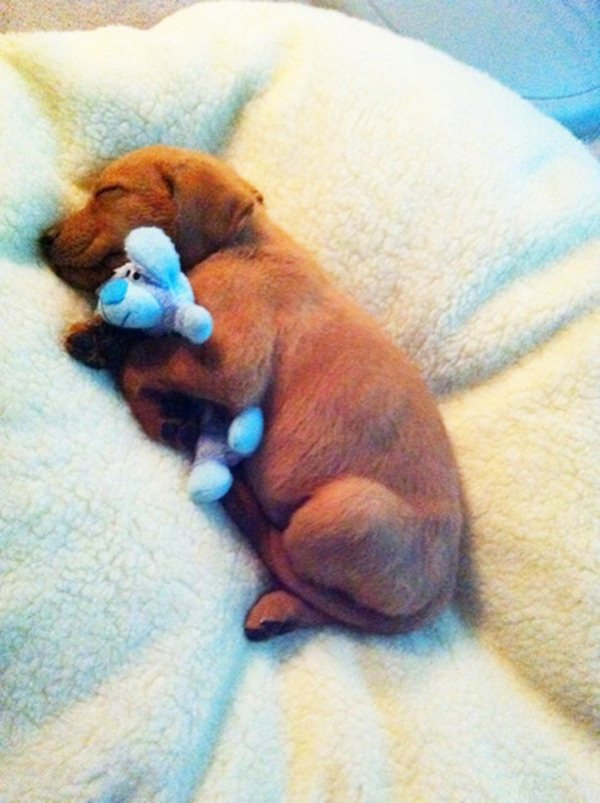 cute sleeping puppies, puppy holds his toy