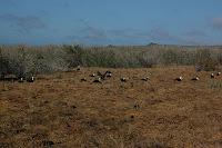 Waved Albatross Mating Area on Espanola Island Punta Suarez Galapagos