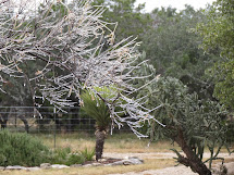 Ice on desert willow