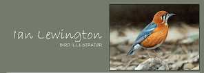 Ian Lewington - Bird Illustrator