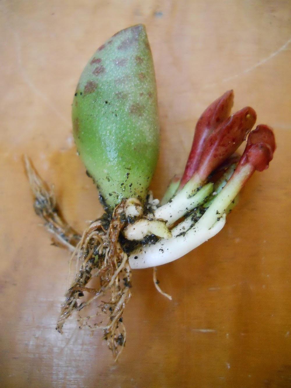 hojas nuevas de un esqueje de cactus