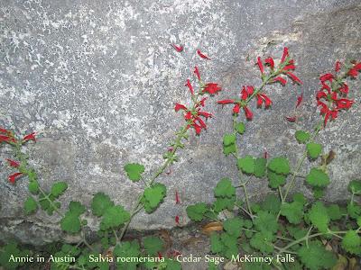 Annieinaustin,Salvia roemeriana at McKinney Falls