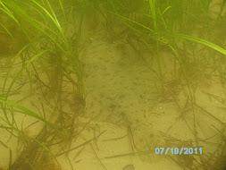 Flounder in eelgrass, Manchester, MA
