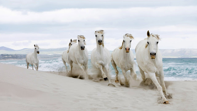 white_horses_running_in_the_beach_wallpaper_hd