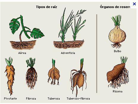 Agricultura biol gica mofologia y fisiologia de las plantas for Plantas hortalizas ejemplos