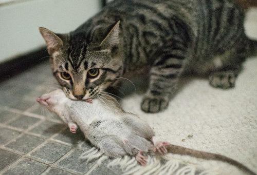 Кот-Крысолов: злобная порода кошек