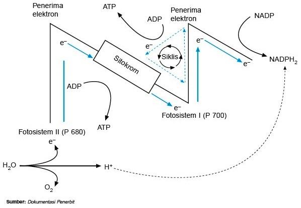 Jalur elektron siklis dan nonsiklis