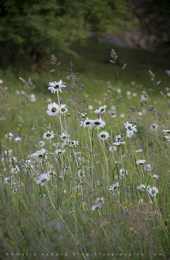 swedish summer, meadow, swedish summer flowers, prästkragar, wild daisies, meadow daisies