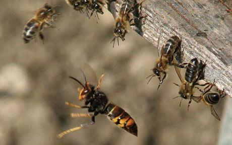 Spesies Lebah Terbesar Di Dunia