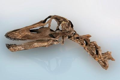 Kaatedocus skull