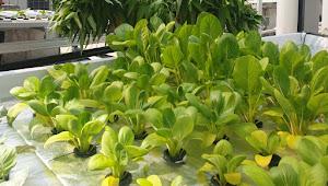 THE 1O1 Bogor Suryakancana Mengubah Rooftopnya Demi Kebun Hydroponik