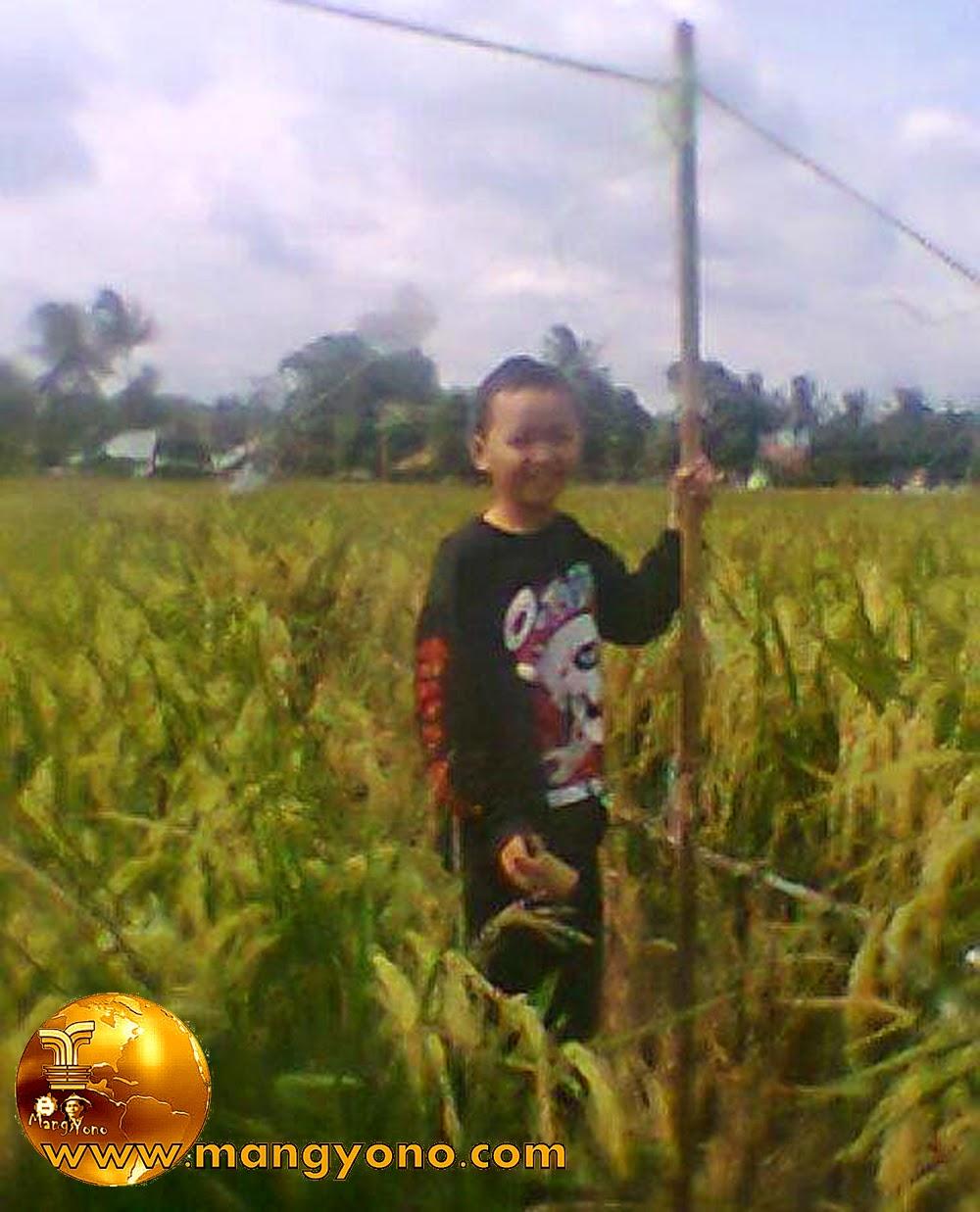 "Anak saya ""Gugum"" sedang menjaga tanaman padi dari serangan burung pipit."