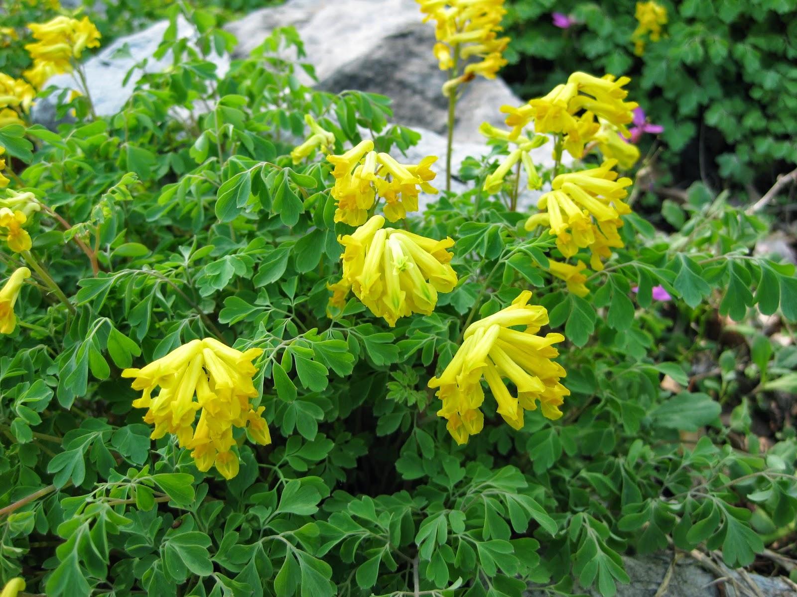 Yellow Fumitory Corydalis Lutea Rotary Botanical Gardens