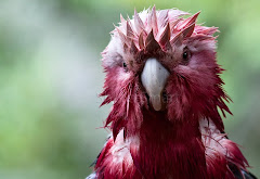 Wet galah close up