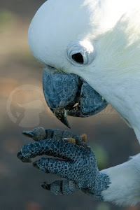 Greater Sulphur Crested Cockatoo