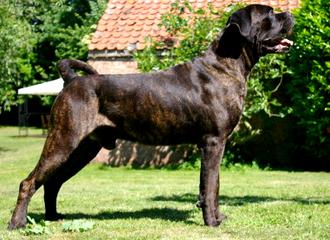 Saved by dogs: Cane Corso Italiano: The smaller Italian ...