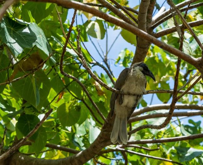 крикливый филемон австралийские птицы