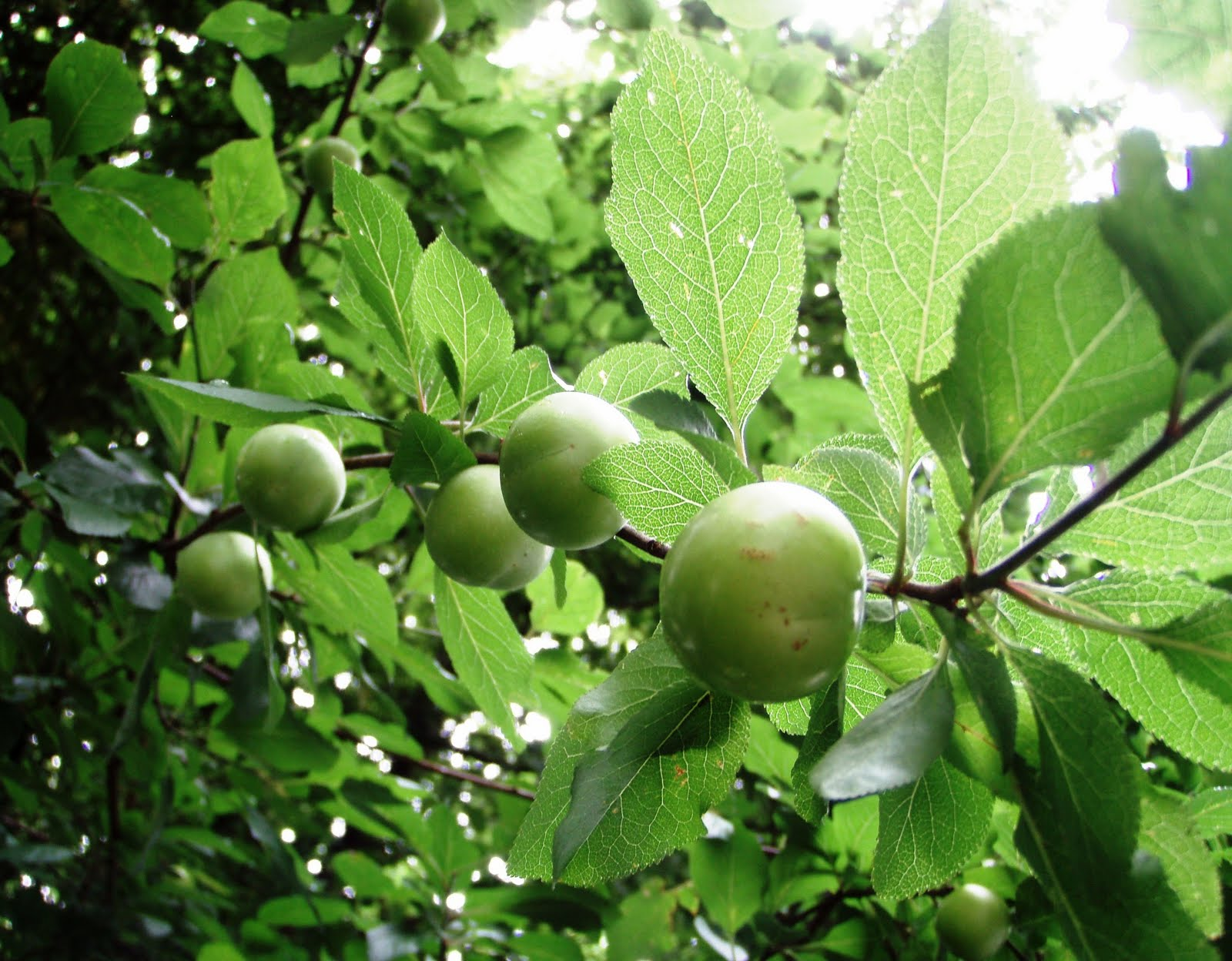 the urbane forager a real plum spot