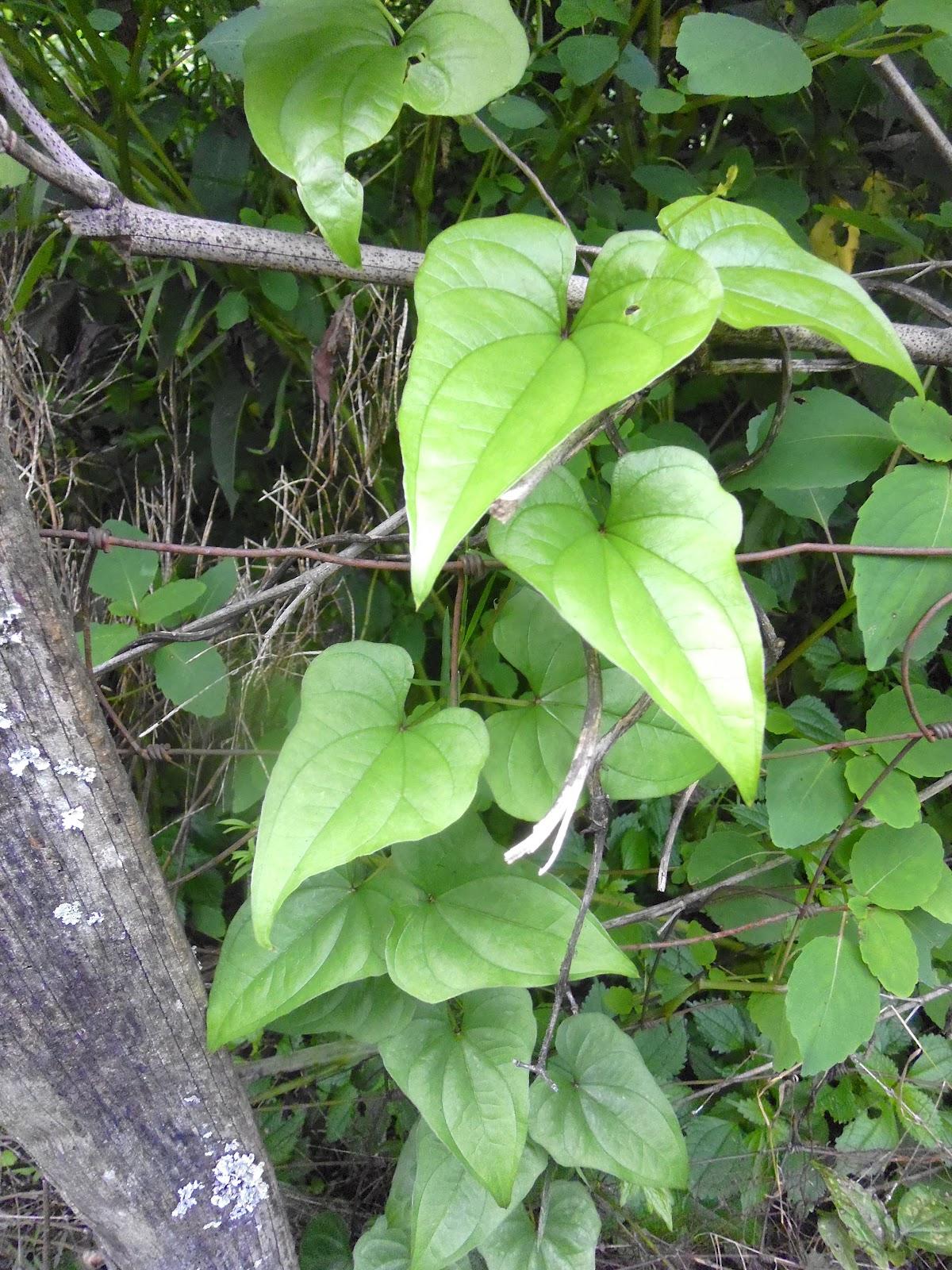cinnamon vine running up the garden fence