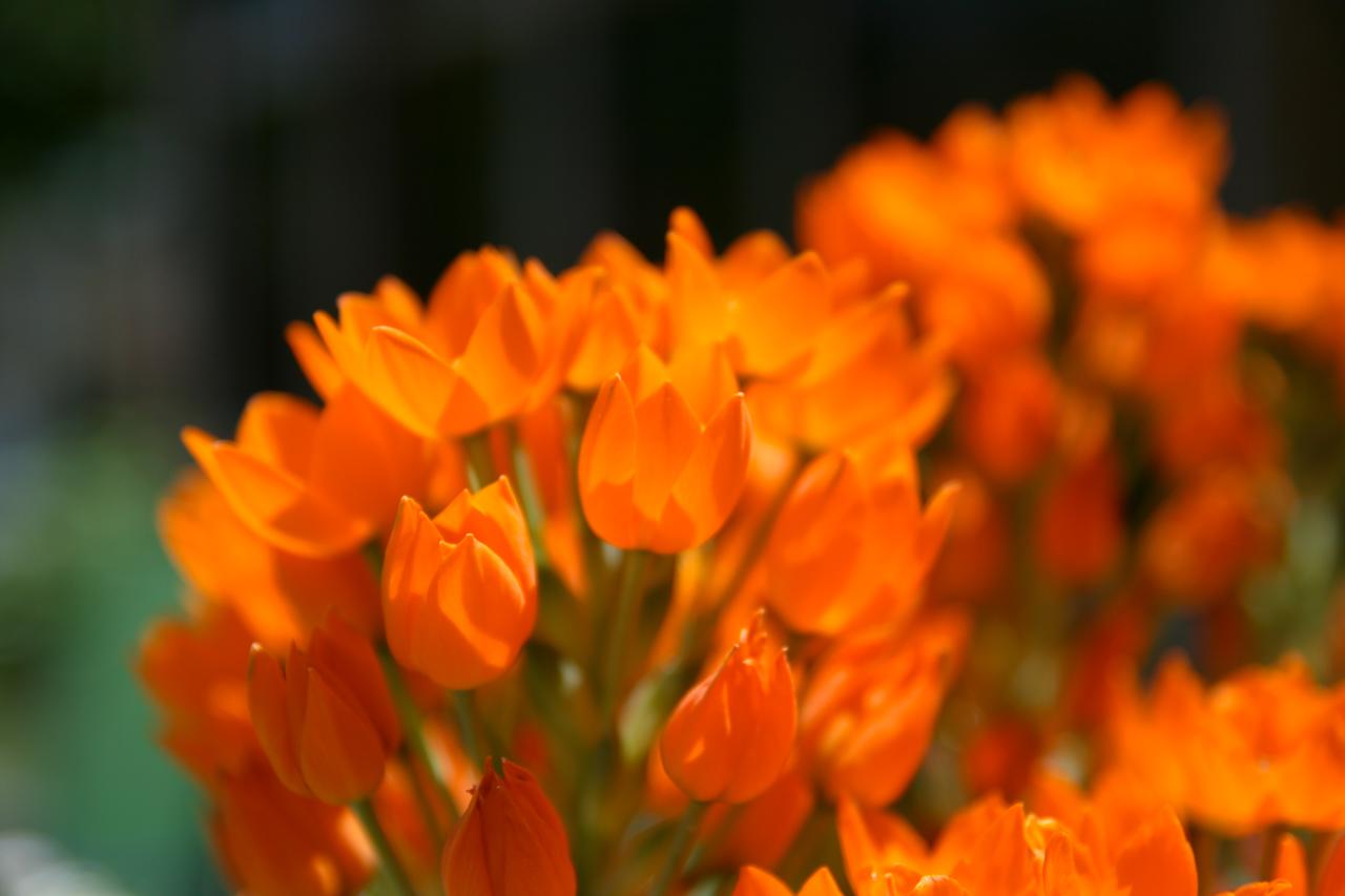 Orange Flowers Beautiful Flowers