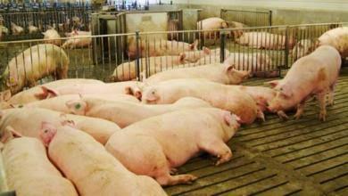 Chăn nuôi heo công nghiệp tại Hàn Quốc.