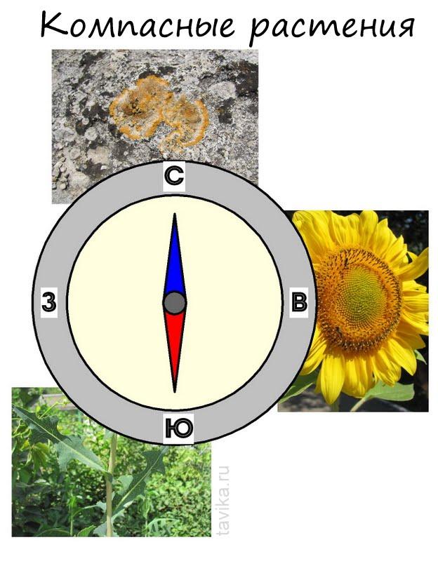 как определить стороны света по растениям