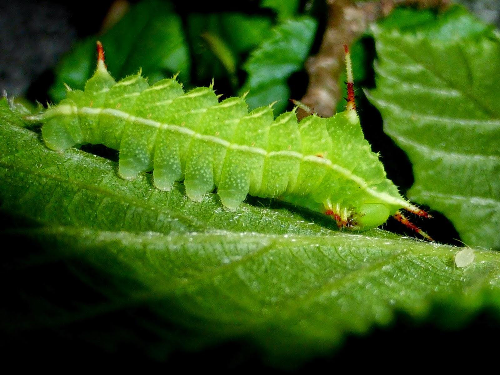 Aglia tau L3 caterpillar