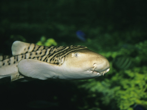 Leopard shark jaw