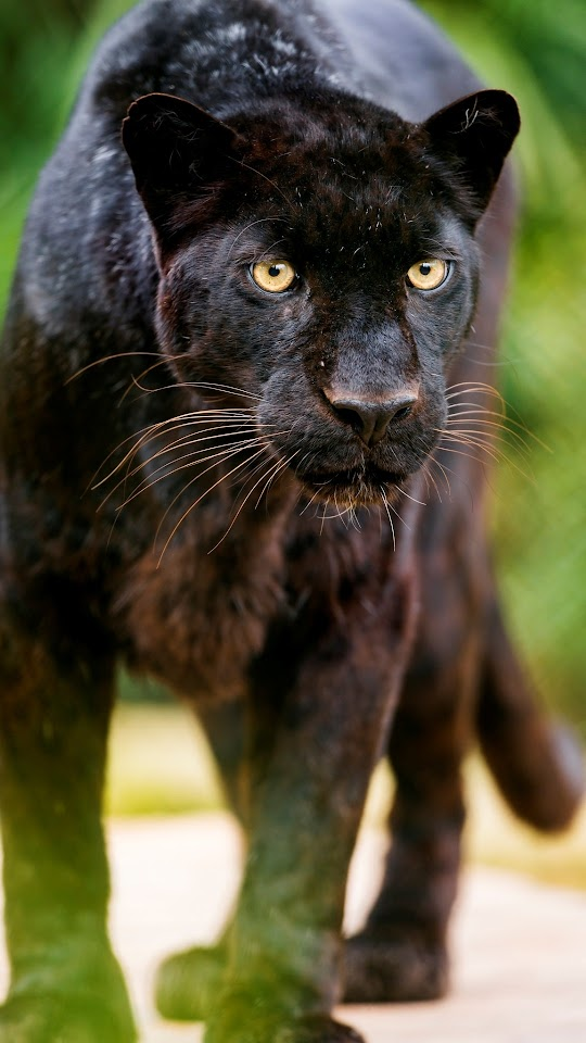 Black Leopard Looking At Me Galaxy Note HD Wallpaper
