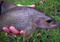 A lump of a grayling from the River Anton