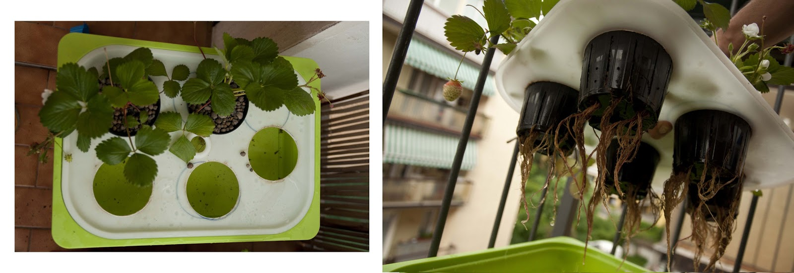 Il laboratorio delle idee fragole in idroponica diy for Vasi per fragole