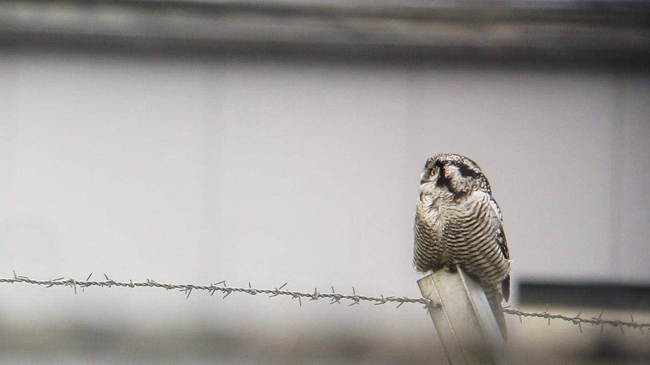 Hawk Owl Zwolle Holland