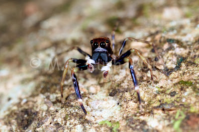 Jumping spider Salticidae at Jindalba, Queensland
