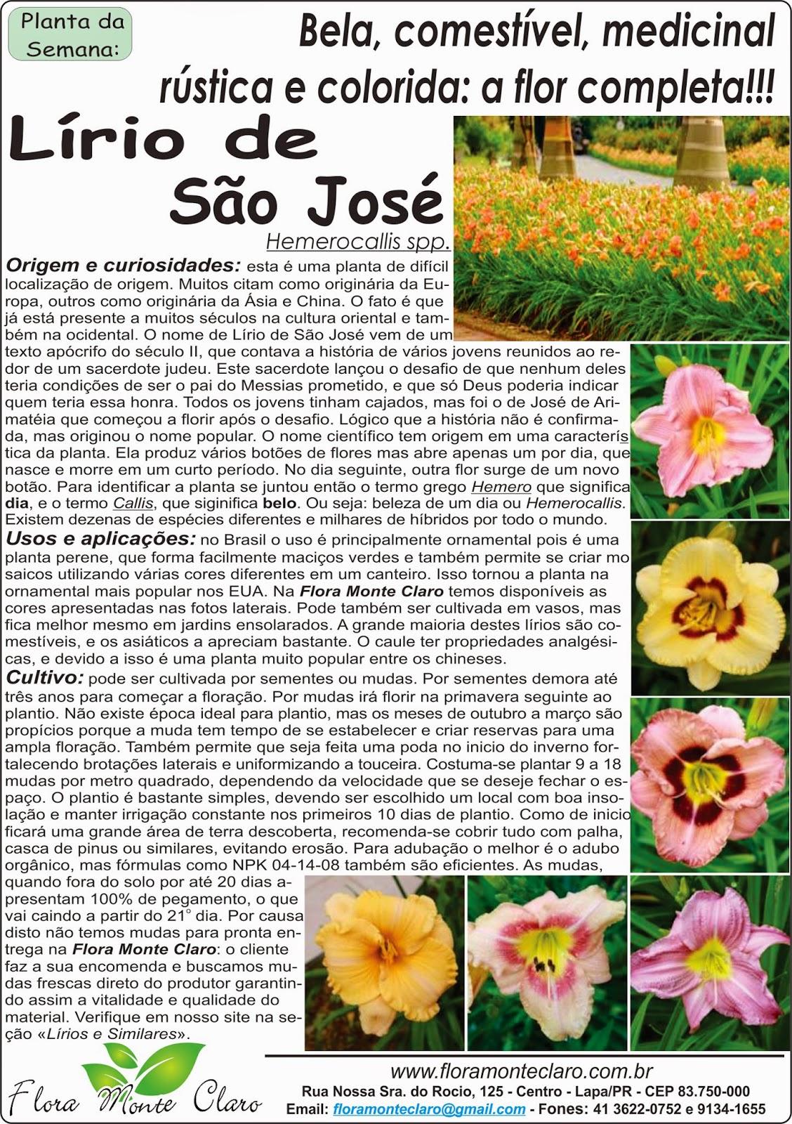 Lírio de São José ou Hemerocallis
