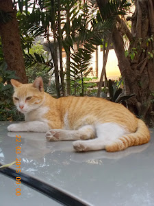 """Could this cat   be the foundation stock  """"BILLI"""" breed of cats ?"""