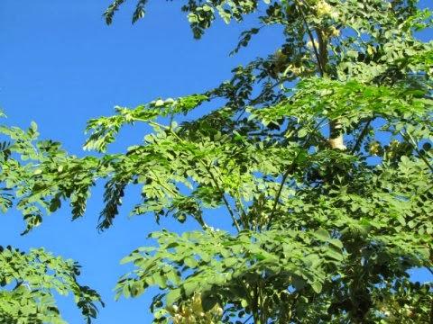 Malunggay (Moringa Oleifera) or Moringa Tree