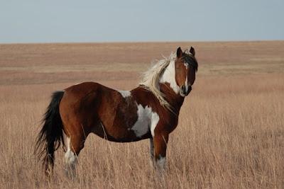 El Spanish Mustang