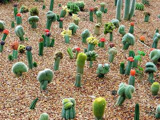 kaktus hias, jenis tanaman kaktus, perawatan tupai kasku