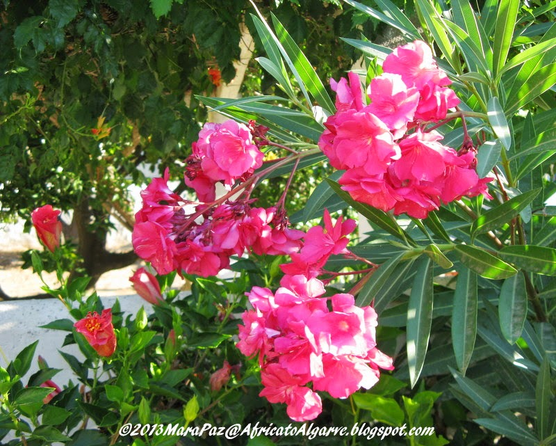 Red-flowered oleander