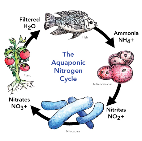 Aquaponic Nitrogen Cycle FeelGood Aquaponics Compyright 2012 explanation artwork done by Felix Vogele