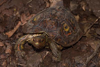 Painted wood Turtle