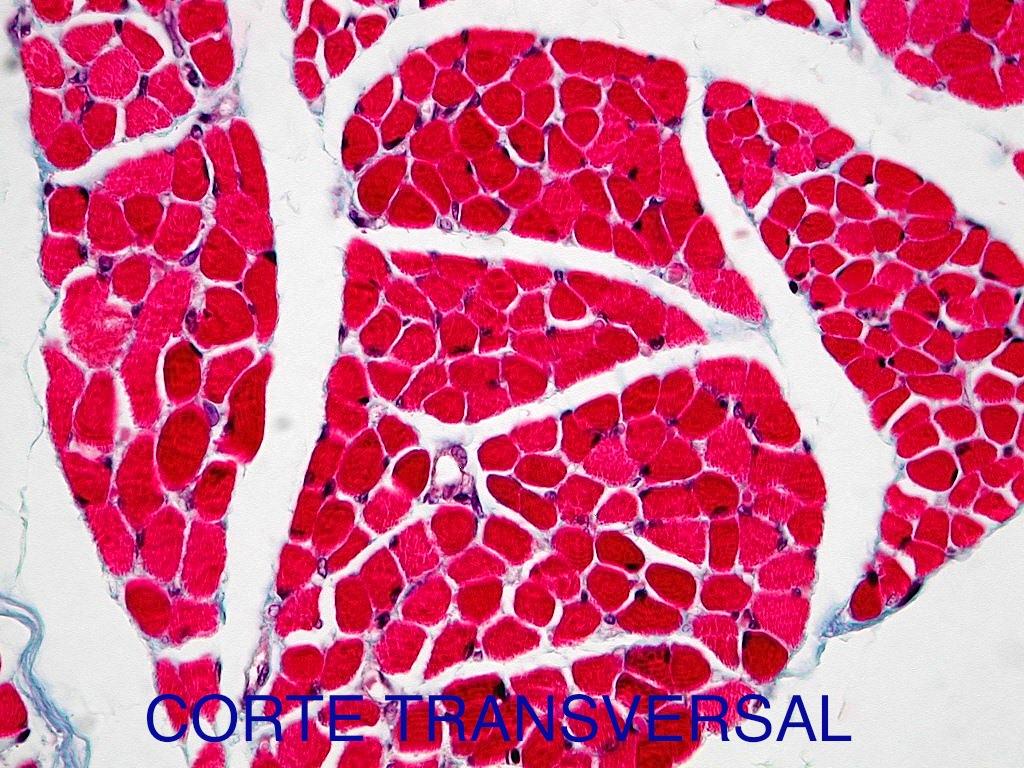 SOS BIOLOGIA CELULAR Y TISULAR: TEJIDO MUSCULAR 2. Muscle Tissue