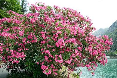 Inilah Jenis Bunga Paling Mematikan, Meskipun Cantik