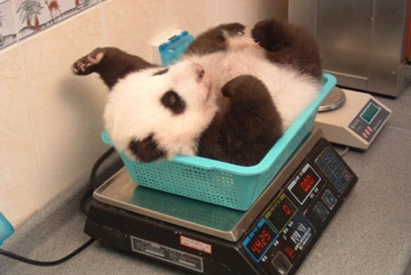 baby panda