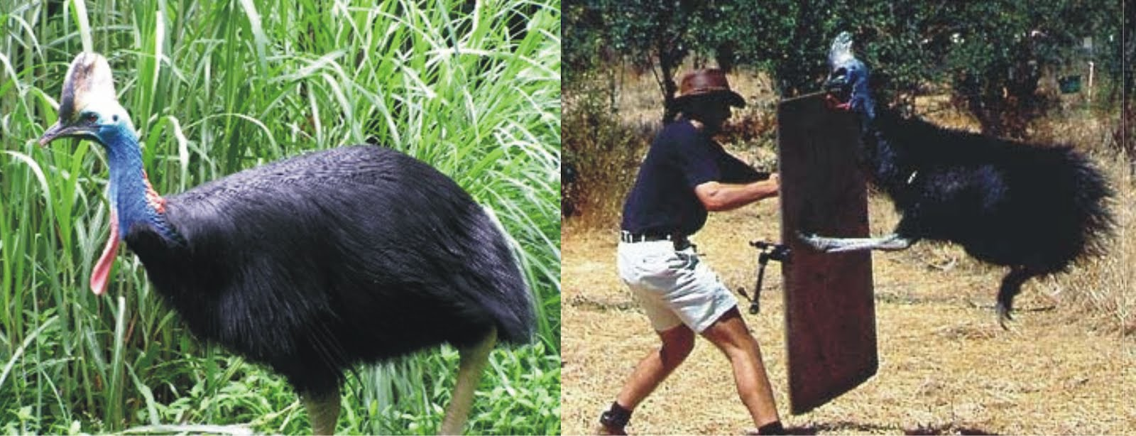 KASUARI,  Burung Paling Berbahaya di Dunia